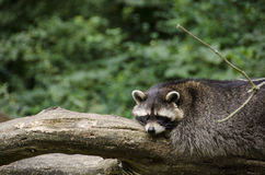 Raccoon, Procyon lotor Stock Photos
