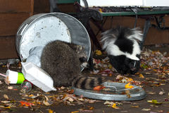 Raccoon (Procyon lotor) and Skunk (Mephitis mphitis) Raid Trash Royalty Free Stock Photos