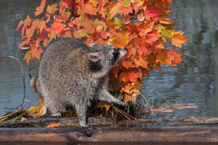 Raccoon (Procyon lotor) Sniffs in Autumn Leaves Stock Image
