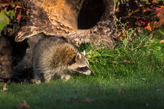 Raccoon Procyon lotor Sniffs in Front of Log Royalty Free Stock Photos