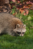 Raccoon (Procyon lotor) Sniffs in the Grass Stock Images