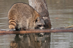 Raccoon (Procyon lotor) Sniffs at Log Stock Photography