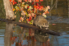 Raccoon (Procyon lotor) Sniffs at Log in Pond Royalty Free Stock Photography