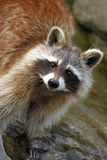 Raccoon / Procyon lotor standing in water Stock Images
