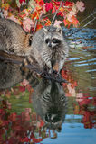 Raccoon Procyon lotor Stands at End of Log Stock Image