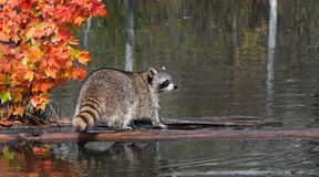 Raccoon (Procyon lotor) Stands on Log Looking Right Stock Image