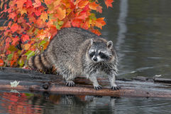 Raccoon (Procyon lotor) Stands on Log in Water Royalty Free Stock Photography