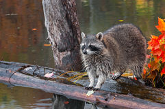 Raccoon (Procyon lotor) Stands on Logs in Pond Stock Image