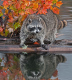 Raccoon (Procyon lotor) Stands Spread Legged on Log in Water Royalty Free Stock Image