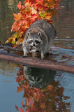 Raccoon (Procyon lotor) Stares at Viewer with Reflection Stock Photo
