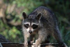 Raccoon (Procyon lotor) (1) Stock Photo