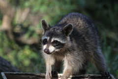 Raccoon (Procyon lotor) Royalty Free Stock Image