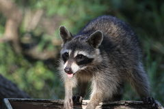Raccoon (Procyon lotor) (1) Stock Photography