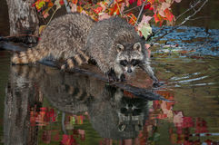 Raccoon Procyon lotor Steps Forward on Log Royalty Free Stock Photography