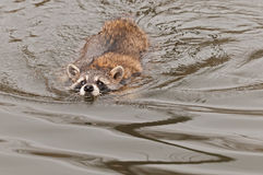 Raccoon (Procyon lotor) Swims Along Stock Photos