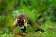 Raccoon, Procyon lotor, on the tree in National Park Manuel Antonio, Costa Rica. Animal in the forest. Animal from tropic Costa Ri royalty free stock photos