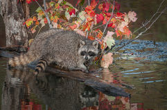 Raccoon Procyon lotor Turns on Log Royalty Free Stock Photos