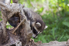 Raccoon Procyon lotor in USA Stock Photos