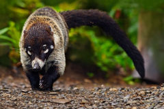Raccoon, Procyon lotor, walking on white sand beach in National Park Manuel Antonio, Costa Rica, Raccoon in the forest. Raccoon wi Royalty Free Stock Photography