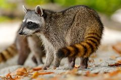 The Raccoon, Procyon lotor, walking on white sand beach in National Park Manuel Antonio, Costa Rica Royalty Free Stock Photo
