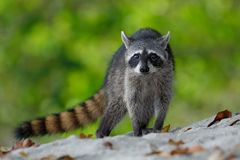 The Raccoon, Procyon lotor, walking on white sand beach in National Park Manuel Antonio, Costa Rica. South America Stock Photography