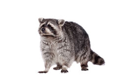 Raccoon (Procyon lotor) on the white background Stock Photos