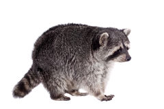 Raccoon (Procyon lotor) on the white background Royalty Free Stock Images