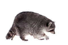 Raccoon (Procyon lotor) on the white background Royalty Free Stock Photo