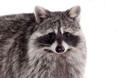 Raccoon (Procyon lotor) on the white background Royalty Free Stock Photography