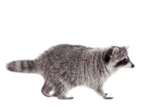 Raccoon (Procyon lotor) on the white background Stock Image