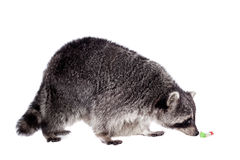 Raccoon (Procyon lotor) on the white background Stock Images