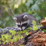 Raccoon Procyon lotor in woods Royalty Free Stock Photography