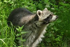 Raccoon, Procyonidae, Fauna, Mammal stock photography