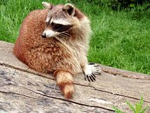 Raccoon, Procyonidae, Fauna, Mammal stock images