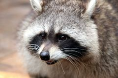 Raccoon, Procyonidae, Mammal, Fauna stock photos