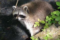 Raccoon, Procyonidae, Mammal, Fauna royalty free stock images