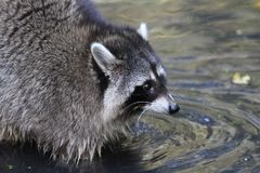 Raccoon, Procyonidae, Procyon, Mammal royalty free stock photo
