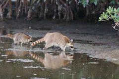 Raccoon Procyonlotor Royaltyfri Foto