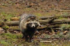 raccoon procyonoides nyctereutes собаки Стоковое Изображение RF