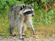 Raccoon on the prowl Stock Images