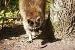 Raccoon on the prowl. Raccoon on the prowl in the forest in search of lunch Royalty Free Stock Photo
