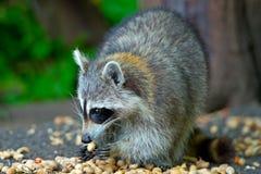 Raccoon que come amendoins imagem de stock