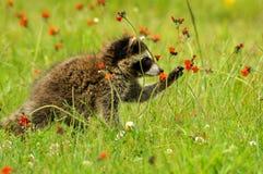 Raccoon que joga com uma flor Foto de Stock Royalty Free