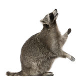 Raccoon que olha acima imagem de stock