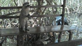 Raccoon. Raccon in corchito Progreso Royalty Free Stock Photos