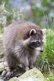 Raccoon or Racoon (Procyon lotor). Also known as the common raccoon, North American raccoon, northern raccoon and colloquially as coon, it has social behaviors Stock Image