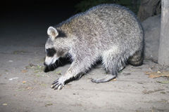 Raccoon reaching for food Stock Images