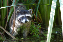Raccoon in the reeds. This raccoon mother was checking to see if the coast was clear for her two youngsters Royalty Free Stock Images