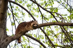 A raccoon relaxes on a tree in Toronto, the raccoon capital of t royalty free stock images