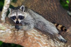 Raccoon Resting Royalty Free Stock Images